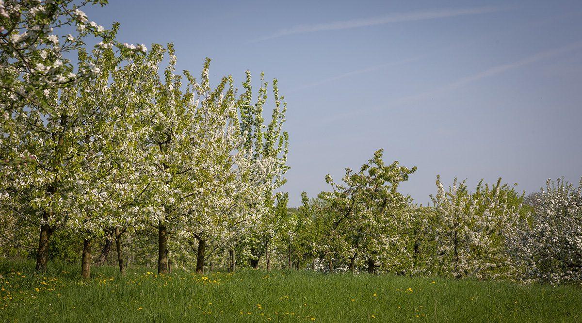 Kirschbäume in Blüte auf dem Kirschberg in Ockstadt